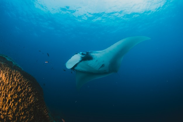 Manta Ray Bali (La Raie Manta Bali) at feeding station